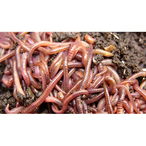 Red Wiggler Redworm Colony Starter Kit & Red Worm How To Guide