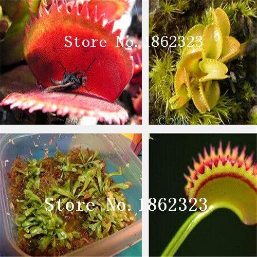 Dionaea graines clip Muscipula géant Venus Fly trap Graines 300PCS semences insectivores fleurs Jardin des Plantes Graines Bonsai