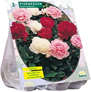 Baltus pioenrozen, Mix Piezas 3bulbos de Flor siembra en Primavera huerto jardín, única