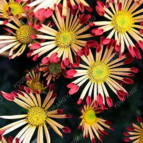 200pcs / sac Rare arc-en-Daisy Graines de chrysanthème Graines Bonsaï Graines de fleurs Belle plantes en pot pour jardin Plantation 25
