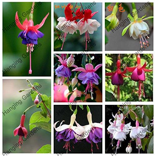 Fuchsien Samen, Topfblumen, DIY Blumen pflanzt, Glockenblume, Laterne Begonia, Mischfarbe 200seeds / bag