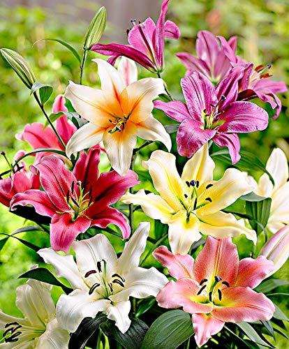 Keland Garten - 50pcs Selten Riesenlilien 'Sky High' gemischt Blumensamen Mischung wintergart mehrjährig, geeignet für Garten/Balkon/Terrasse