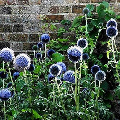 Inkeme Giardino - Semi di Echinops Ritro Ball Thistle Fiore blu Semi perenni Fiori estivi Perenne Hardy per letti/prati da giardino