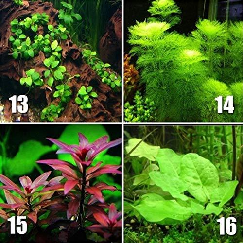 Kemanner 100 Stücke Aquarium Pflanzen bonsai Gras Wasser Wasserpflanze garten Indoor Zierpflanze Gras flores für Zuhause Aquarium Mix Samen Blumensamen