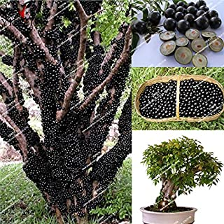 WANCHEN Jaboticaba Myrciaria cauliflora Seeds Rare Plant Brazilian Grape Tree Edible Fruit Tree Seeds Outdoor Bonsai seed10pcs/bag