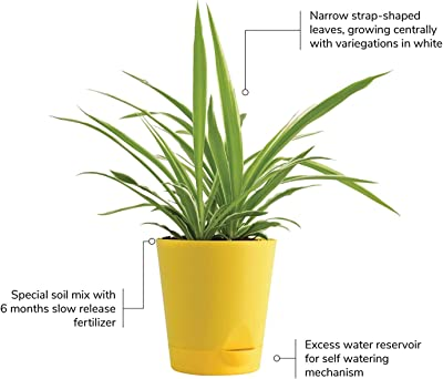 Bhajanlal Greenery Chlorophytum Spider Plant with Self Watering Pot