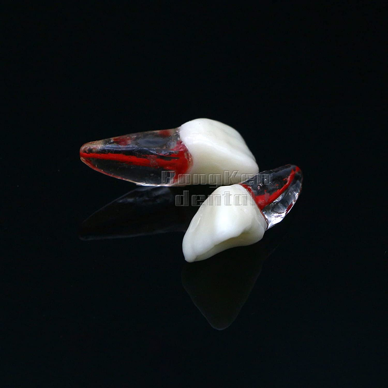 TIIAZHUU Max 80% OFF Dental Tooth Models Seattle Mall Typodont Endod RCT Canal Teeth Root