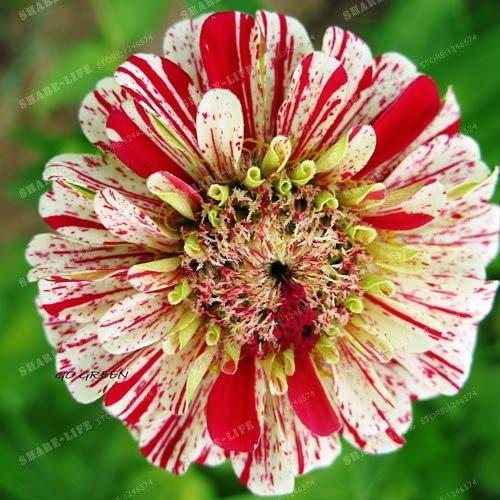 100PCS Zinnia Graines rares Variété chaleur Tolerant Jardin Fleur Plantes à fleurs en pot Charme chinois Fleurs Graines Facile croissance 15