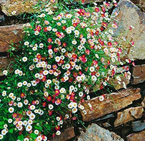 Tomasa Samenhaus- Spanisches Gänseblümchen 50 Stück Gänseblümchen Blumen Mischung Bodendecker Blumen Saatgut mehrjährig Blumen Meer bienenfreundliche für Balkon/Steingärten