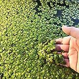 C-LARSS 100 Piezas/Bolsa De Semillas De Lenteja De Agua, Plantas Flotantes De Alta Germinación, Plantas Raras De Hierba Para Acuario Semillas