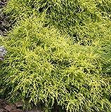 Gelbe Fadenzypresse Sungold 30-40cm - Chamaecyparis pisifera