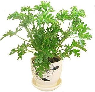Jazmy Citronella Plant Seeds Mosquito Repellent Seeds Sweet Grass Mosquito Repellent For Home Garden