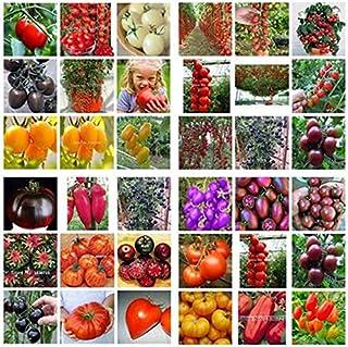 9a577463d6953 Un paquet de 100 graines semences Bonsai Tomate Cerise Mini pot doux fruits  légumes frais bio
