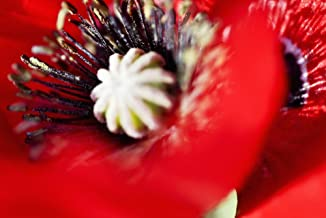 Posterazzi Potentilla Gibson's Scarlet Extreme Close-Up Of Bright Red Blossom. Poster Print (17 x 11)