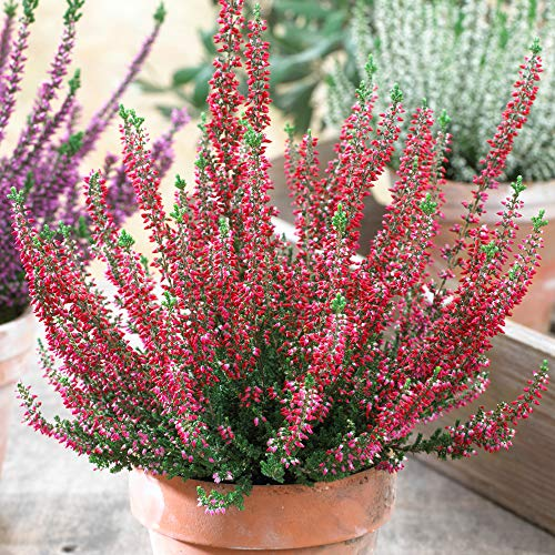 Calluna Beauty Ladies Red Heathers | Evergreen Flowering Outdoor Garden Plants (6 Pack)