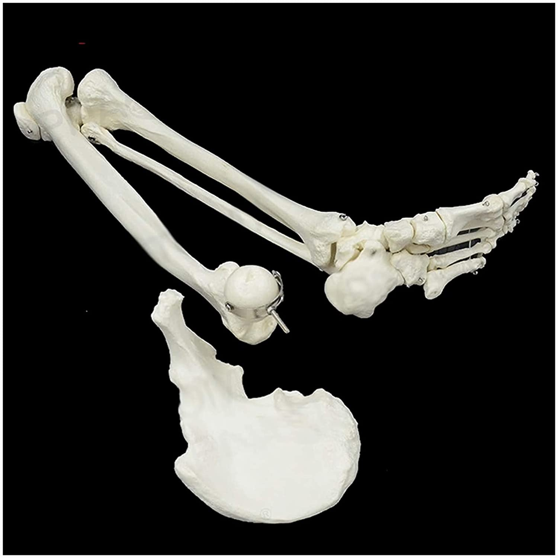 Foot Skeleton Easy-to-use Bone Model Medical Limb Anatomical Lower Sacramento Mall