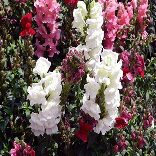 100pcs Snapdragon Graines muflier Majus Rouge Rose Multicolor