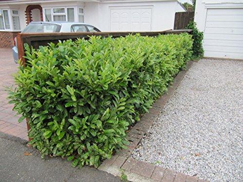 Prunus lauroc.'Novita' winterharte Kirschlorbeer 20-30cm im Topf gewachsen
