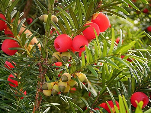 Englisch Eibe, Taxus baccata, 30 Baumsamen (Evergreen, Topiary, Bonsai)