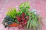 Immergrünes Balkonpflanzen-Set, 6 winterharte Pflanzen für 60 cm Balkonkasten