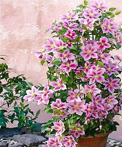 Green Seeds Co. 100 Clematis Pflanzen für Zuhause & amp; Garten Rosa Rebe Blumen Pflanze Bonsai Kletterpflanzen Twining Plant Sca Seltene Blume Plan: Lila