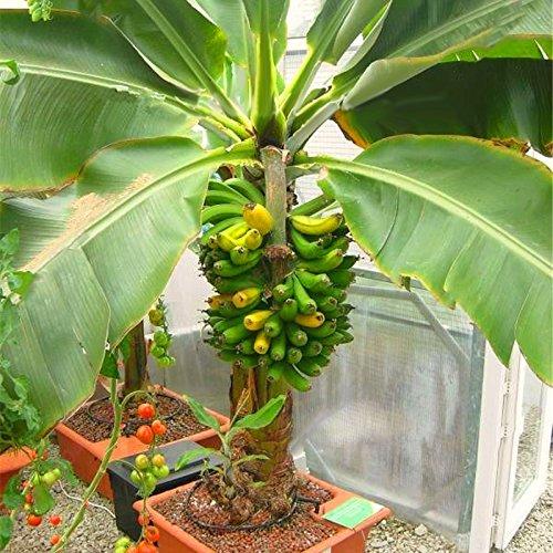 EgBert 200Pcs Garden Banana Seeds Outdoor Zwergbäume Banana-Geschmack Mehrjährige Topffrucht