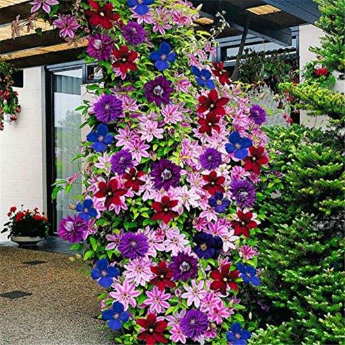 50 semillas de flores Clematis de colores mixtos – Semillas de flores de jardín, bonsái, decoración del hogar o la oficina