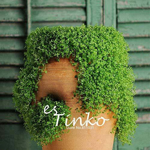 GETSO 50pcs Korsische Minze Samen korsischen Mint Indoor Pflanze Blumensamen