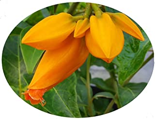 JUANULLOA Gold Finger Bush Vine Live Plant Rare Tropical Orange Flowers Attract Hummingbirds Starter Size 4 Inch Pot Emerald TM