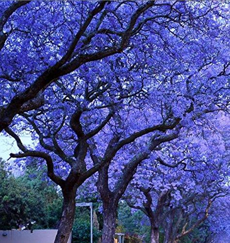 Portal Cool Semi di albero di Jacaranda blu * Unici * Alberi belli rari * Colorati
