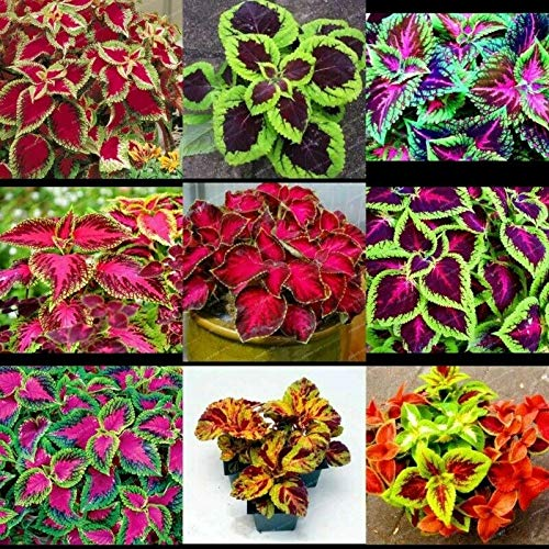 100+ Seeds Coleus Wizard Mix Beautiful Flower Plants Coleus Blumei Seeds