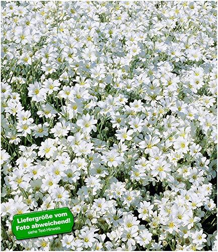 BALDUR-Garten Teppich-Hornkraut,3 Pflanzen Cerastium Polsterstaude