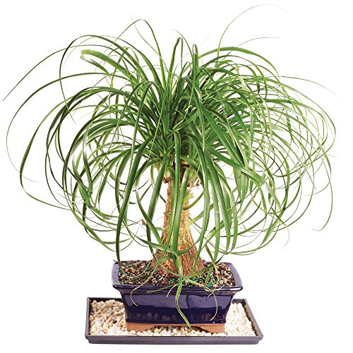 Brussel's Live Pony Tail Palm Indoor Bonsai Tree - 7 Years Old; 12' to 20' Tall with Decorative Container, Humidity Tray & Deco Rock