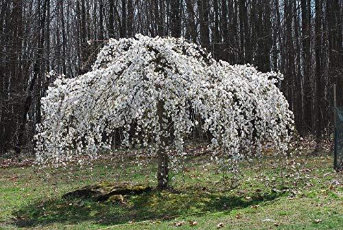 Plentree 5 Dwarf Weeping White Cherry Tree Seeds Flowering Japanse Ornimental Garden