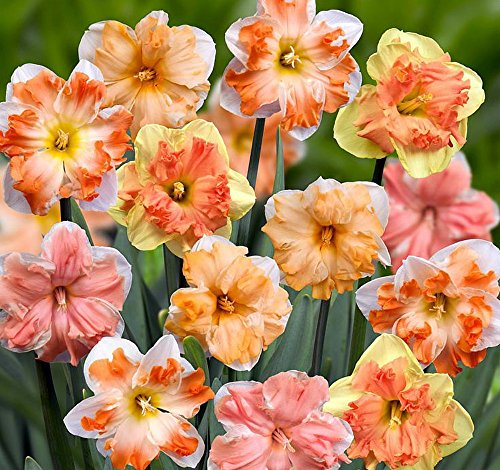 Butterfly Narcissus/Daffodil Mix 8 Bulbs - Deer Proof! - 16/+ cm Bulbs