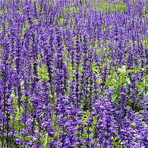 Aerlan Wildblumenwiese,Blaue Blume Salbei Samen Pulver Kelch Salbei Samen Blumen grüne Pflanze Garten-Blaue Blume 100g,Blumensamen winterhart mehrjährig