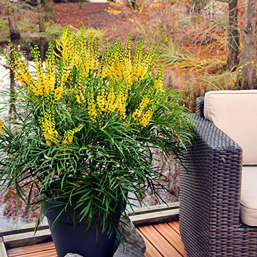 Mahonia Eurybracteata Soft Caress | Mahonia chinois hybride jaune | Arbuste dornement | Hauteur 25-30cm | Pot Ø 19cm