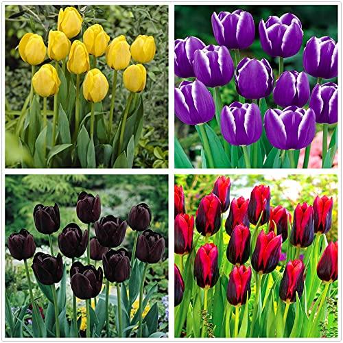 Los bulbos de tulipán,Plantar ahora,Flores que atraen mariposas y abejas,Hermosas flores cultivadas en casa,Plantas ornamentales-5 Bulbos