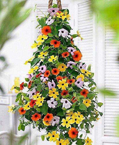 Portal Cool Bio-Climbing Blumen-Samen Rudbeckie Vine (Thunbergia Alata) Mix