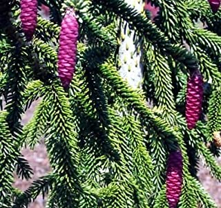 Best dwarf norway spruce for sale Reviews