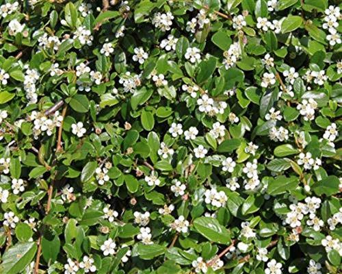 Cotoneaster 6 Streips Findling 15/25 Zwergmispel Bodendecker T9x9 besonders flachwachsend