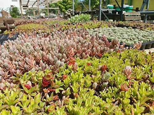 Teichbauzentrum Sankt Julian Sedum Dachbegrüunung Steingarten Pflanzen Gründach Bodendecker ca. 500 Stück Flachdach Carport