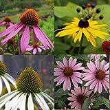 lichtnelke - Stauden-Paket mit 10 Pflanzen Sonnenhut (Echinacea und Rudbeckia)