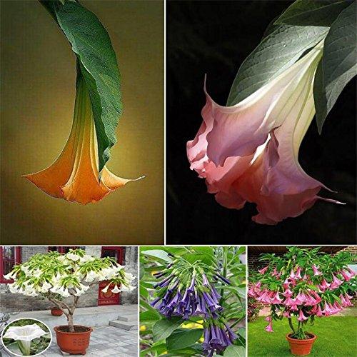 8 colori 50 semi/pack Datura semi balcone fiori piante in vaso semi di bonsai giardino erbe semi di fiori (rosa)