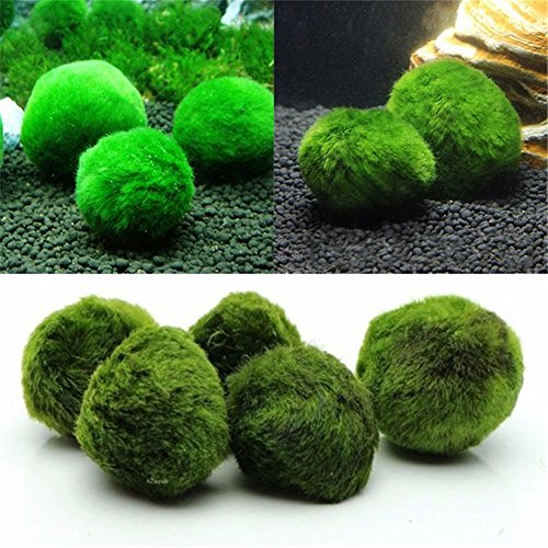 Marimo Moss Ball, Dayoly Live Aquarium Waterplanten voor Vis/Garnalen Tank voor Discus Betta Decor Ornament Crystal Algae aegagropila. Geschikt voor Coral Reef brak Water Aquarium/Terrarium Donker Groen