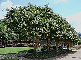 6 Pack - Natchez (White) Crape Myrtle Trees