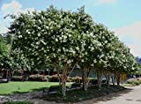 6 Pack - Natchez (White) Crape Myrtle Trees