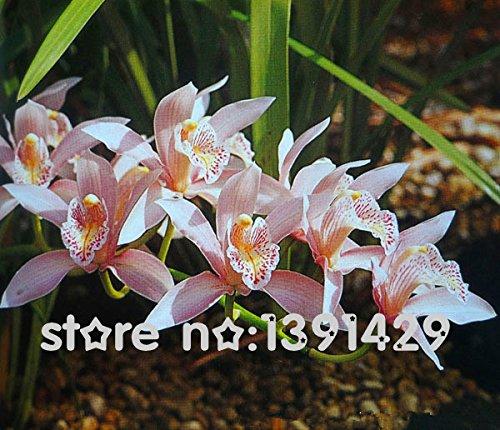 11.11 Promotion! 2015 top ventes espèces d'orchidées 200 pièces rares graines Monkey Face Orchid haut taux de survie floraison saisonnière Plantes