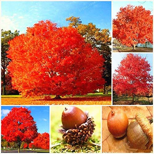 10 Pcs Rare Red Oak Tree Bonsai Quercus Alba Glands Bonsai pour Le Bricolage Jardin Facile à cultiver