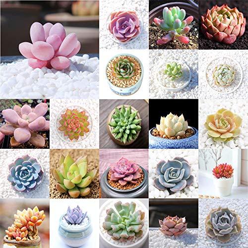 AGROBITS 23 Prince Noir: 100P Variété Succulent Graines Lithops Lig Pierres Plantes Cactus Exotic Plant